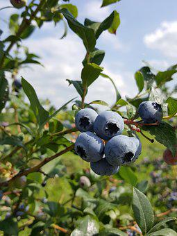 Blueberries, Bickbeeren, Berries, Fruit, Ripe, Healthy