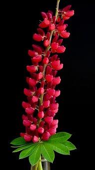 Lupin, Fuchsia, Black, Color, Summer, Design, Colorful