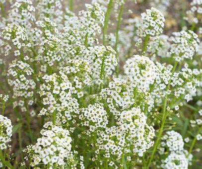 Baby's Breath, Flowers, White, Breath, Bouquet, Floral