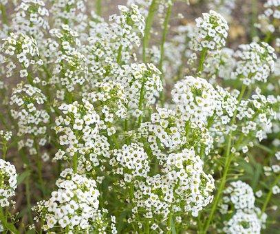 Baby's Breath, Flowers, White, Breath, Bouquet, Floral