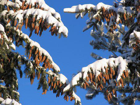Larch, Pine, Spruce, Tree, Conifer, Cones, Seeds, Nuts