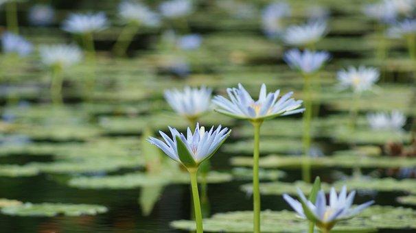 Lily, White, Lilies, Flower, Flora, Petal, Blossom
