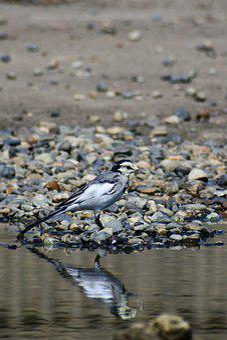 Animal, Pond, Pebbles, Water, Mirror, Reflection