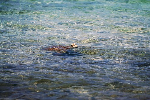 Animals, Amphibians, Turtles, Tortoise, Swim, Nature