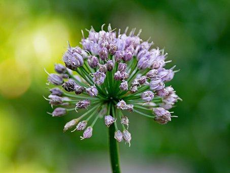 Ornamental Onion, Leek, Allium, Flower, Plant, Blossom