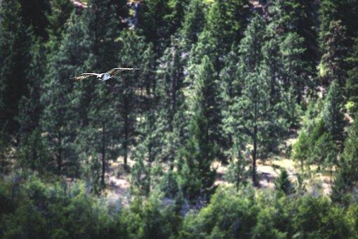 Bird, Osprey, Raptor, Prey, Nature, Animal, Wildlife