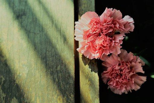 Carnation, Phăng, Hoa Cẩm Chướng