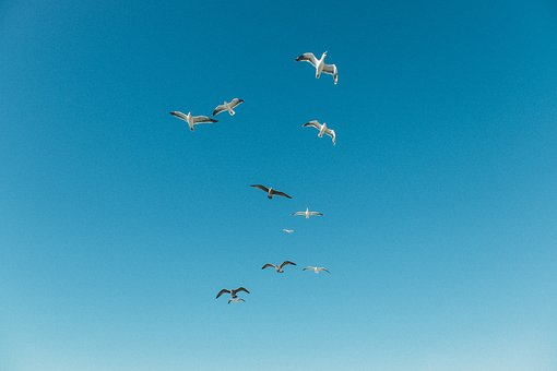 Animals, Birds, Seagulls, Flying, Formation, Nature