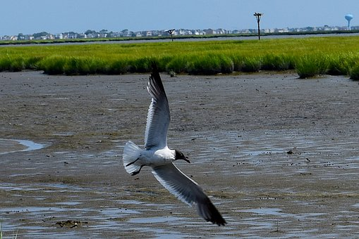 Bird, Seagull, Marshland, Estuary, Water, Grass, Sunny