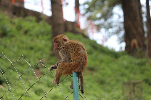 Monkey, Alone, Rhesus Macaque, Green Alone