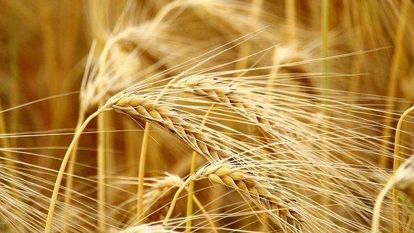 Cereals, Barley, Field, Barley Field, Nature