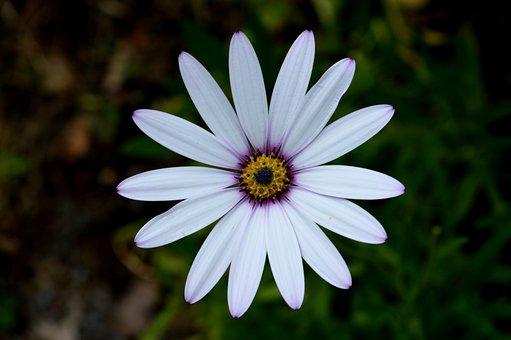 Flower, Osteospermum, Bloom, Summer, Nature