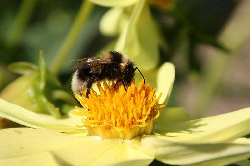 Hummel, Bumblebee, Bourdon