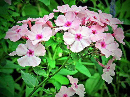 Flower, Phlox, Flame Flower, Flower Garden, Shrub