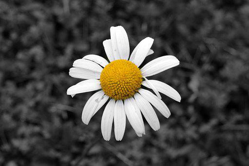 Daisy, Flower, Nature, Spring, Plant, Floral, White