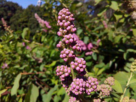 Inflorescence, Flowering Shrub, Park, Closeup, Plant