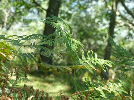 Fern, Tree, Nature, Forest, Green, Landscape, Plant