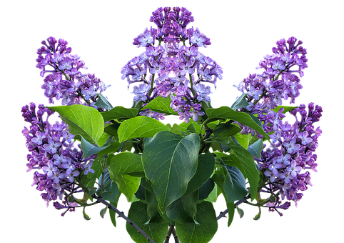 Lilac, Spring, Lilac Flower, Lilac Tree, Purple Flower