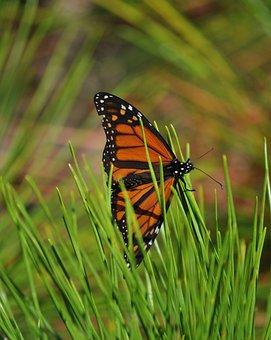 Monarch, Butterfly, Pine, Orange, Wing