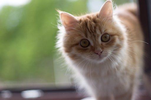 Cat, Portrait, Animals, Nature, Cat Portrait, Pet