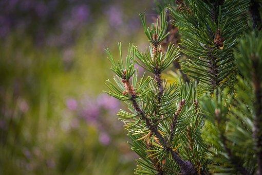 Pine, Dwarf Pine, Detail, Macro, Needles, Green