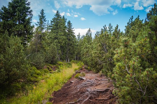 Peat-bog, Roots, Trail, Dwarf Pine, Pine, Trees