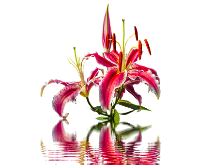 Lily, Blossom, Bloom, Lily Family, Flower, Pink Lily