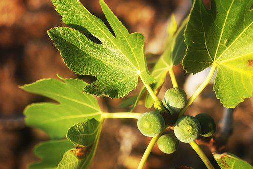 Figs, Fig Tree, Plant