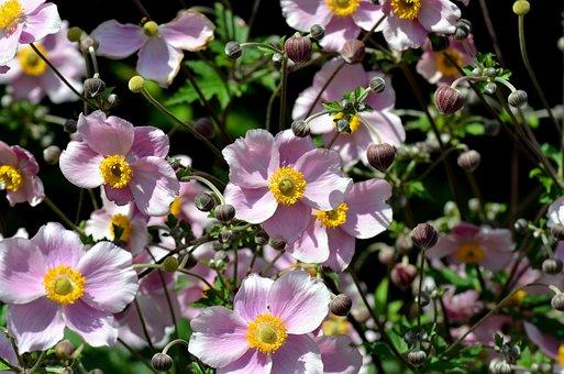 Summer Flower, Flower Garden, Anemone, Queen Charlotte
