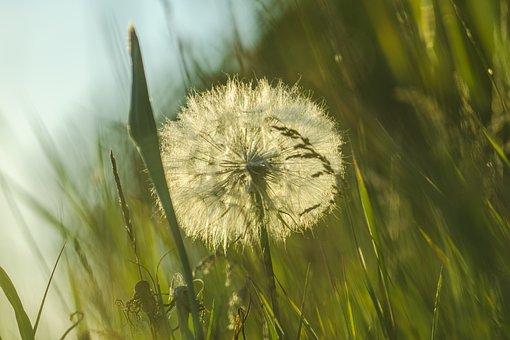 Dandelion, Grass, Rays, Sunny, Bokeh, Green Grass