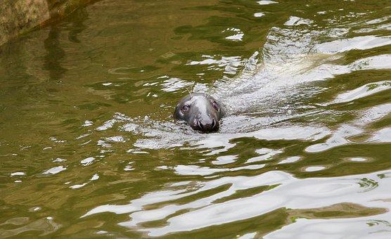 Seal, Swim, Aquatic Animals, Joint, Howler, Robbe