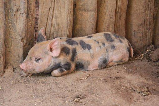 Pig, Farm, Baby, Pork, Piggy, Rural, Piglet, Swine