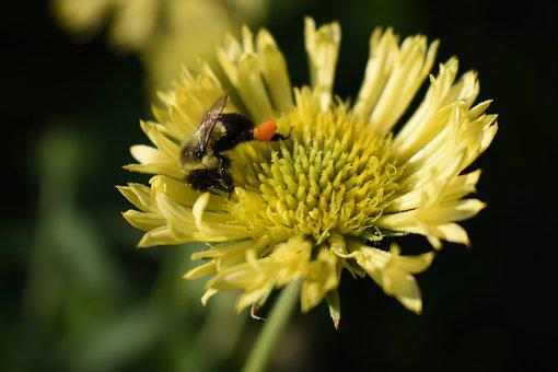 Bee, Bumble Bee, Yellow Flower, Pollen, Insect, Nature