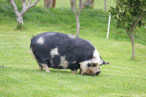 Pig, Farm, Nz, Green, Agriculture, Animal, Livestock