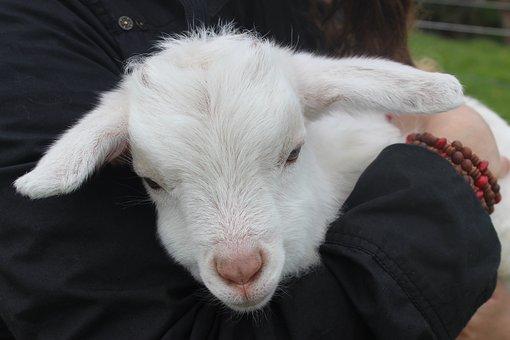 Lamb, Nz, Animal, Baby, Sheep, Grass, Farm, Rural