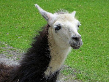 Lama, White, Lama Head, Animal World, Creature