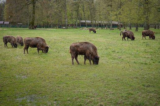 Bison, European Bison, Animals, The Nature Reserve