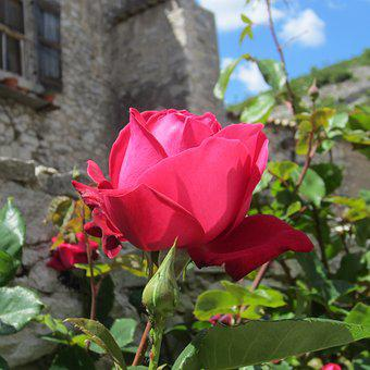 Banon, South Of France, Provence, France, Rose