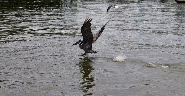 Pelican, Water, Flying, Bird, Animal, Nature, Wildlife