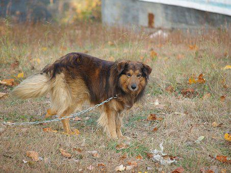 Dog, Collie, Brown, Standing, Chain, Outdoors, Outside