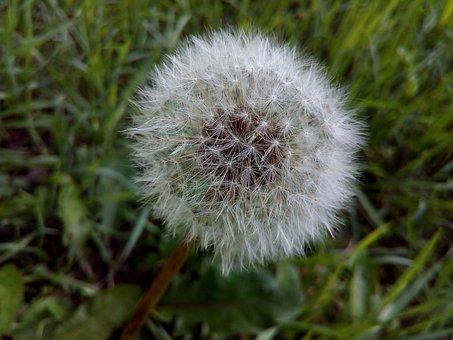 Dandelion, Field, Wild Herbs, Seeds