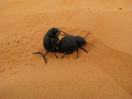 Dung Beetle, Sand, Desert, Pairing, Beetle, Insect