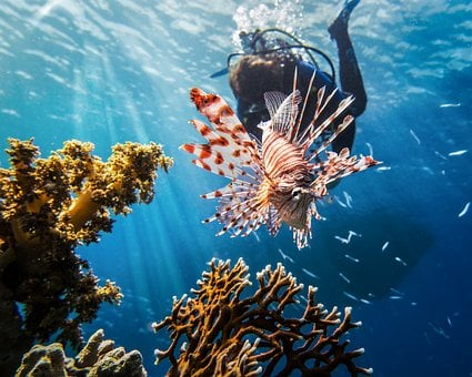 Red Sea, Lionfish, Scuba, Diving, Marine, Nature