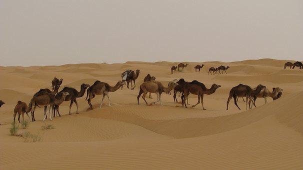 Camels, Desert, Tunisia, Djerba, Sahara, Dromedary