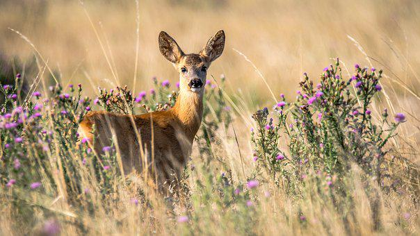 Roe Deer, Capreolus Capreolus, Doe, Animal, Nature