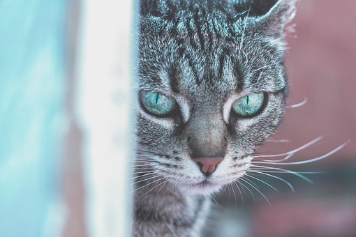 Animals, Cats, Pets, Domesticated, Eyes, Adorable