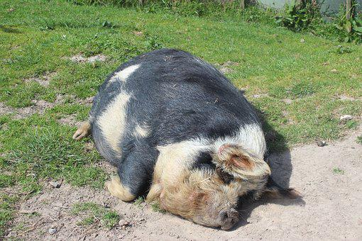 Pig, Animal, Lazy, Farm, Domestic, Nature, Agriculture