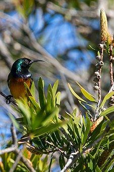 Bird, Nature, Feather, Color, Sunbird, Cape, Orange