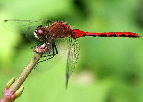 Dragonfly, Red, Insect, Nature, Wildlife, Wild, Bug
