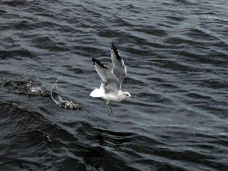 Seagull, River, Wave, Bird, Take Off, Nature, Water